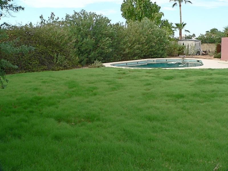 Lazy Gardening Watching Grass Grow Buffalo Grass After Four Phoenix Summers