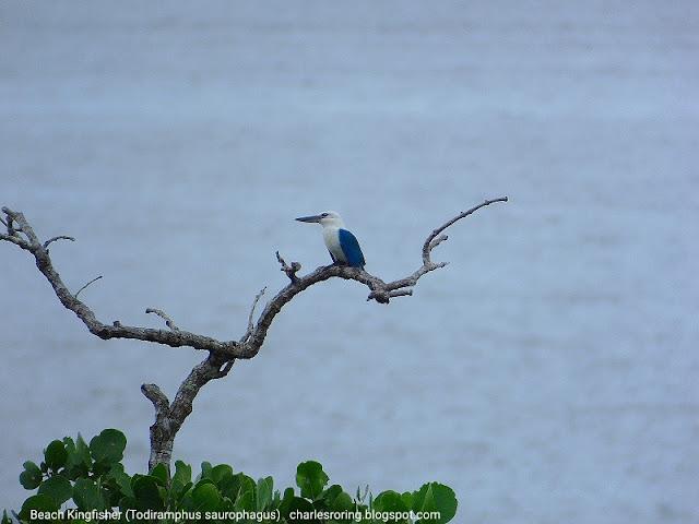 Birding in Raja Ampat islands