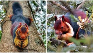 Οι σπάνιοι πολύχρωμοι σκίουροι Μαλαμπάρ είναι σύμβολα αγάπης και ευτυχίας