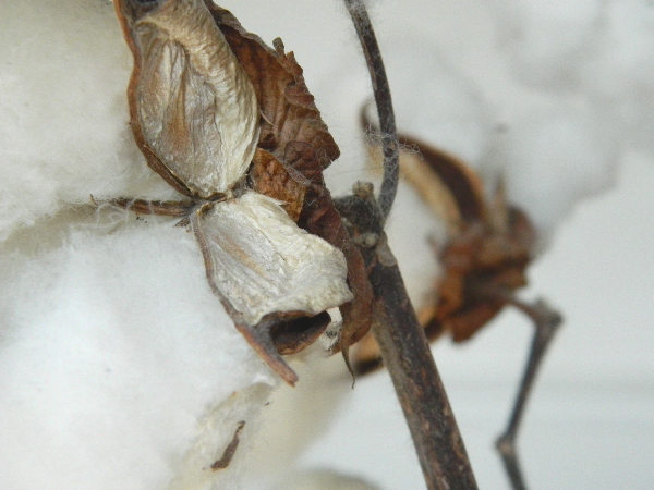 closeup image of white cotton boll on brown stem
