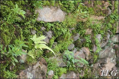 lên núi câu cua, câu cua, Tam đảo, cỏ cảnh, cỏ sân vườn, dương xỉ