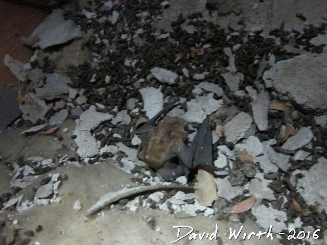 bat in attic, bats, how to get bats out of attic