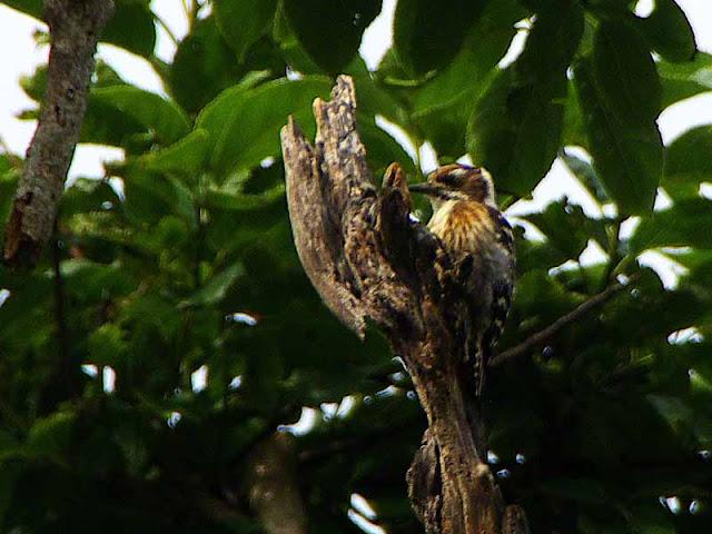 bird,Dendrocopos kizuki