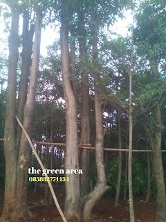jual tanaman pelindung pohon pule