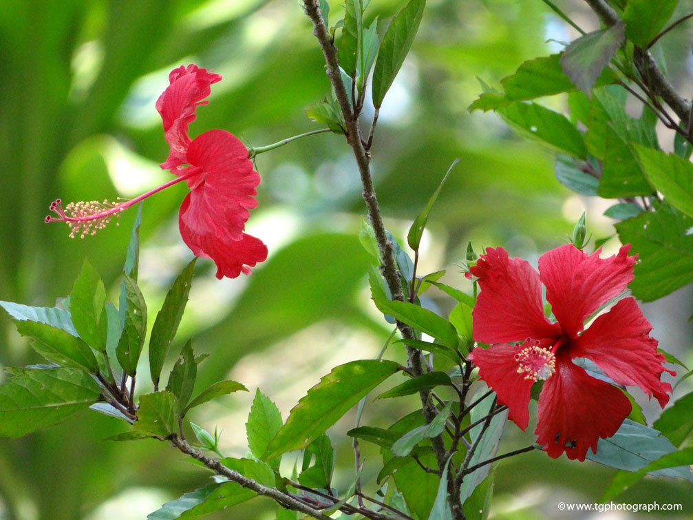 Hibiscus Red Flower Tg Photograph