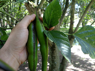 Chachafruto - erythrina edulis - legume tree south america arbol leaves edible pods