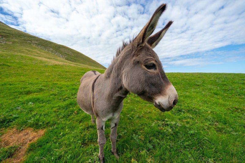 burro