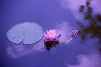 pic of lotus a symbol of attainment in meditation