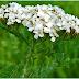 COADA-ŞORICELULUI-  una dintre cele mai apreciate plante medicinale. Iată ce proprietăţi are şi ce boli poate trata!