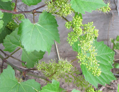 wild grape vines in blossom
