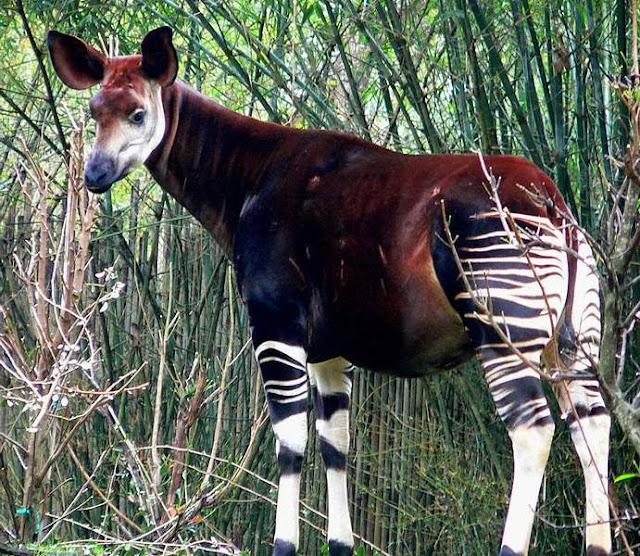 okapi hewan unik yang hampir punah