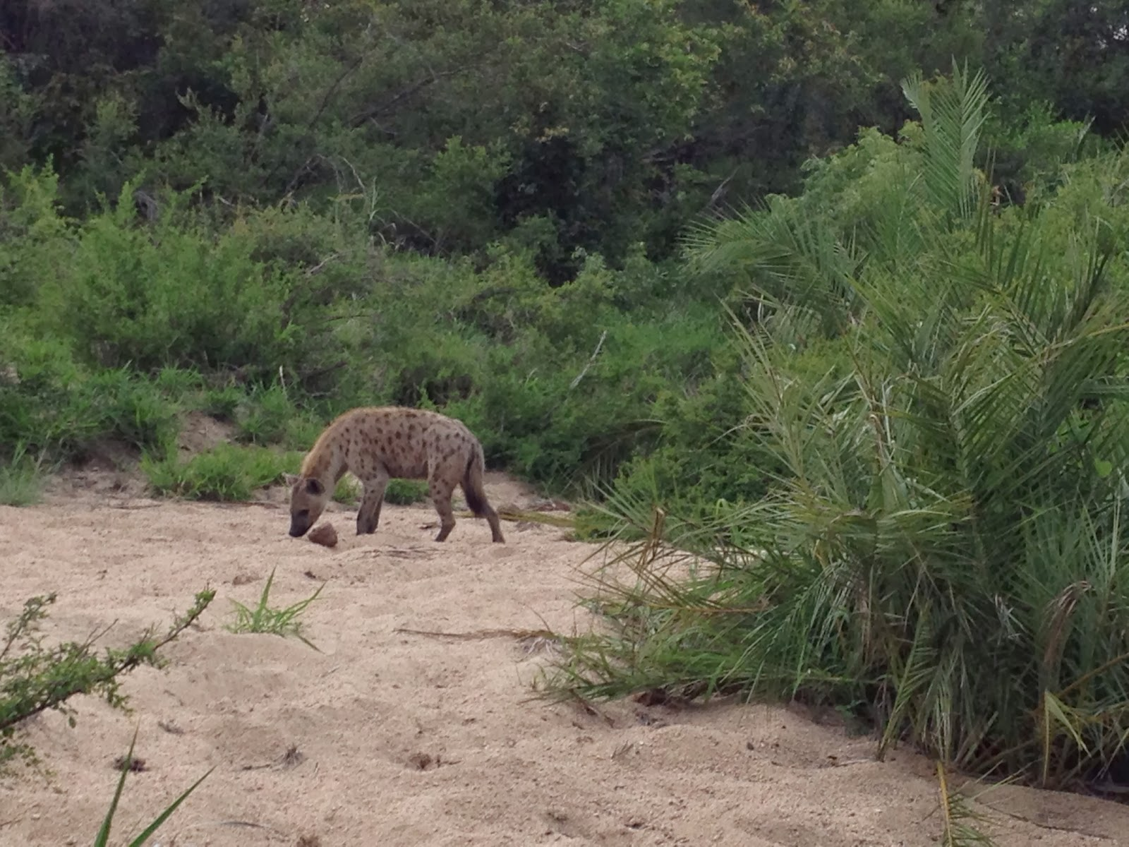 Sabi Sands - The hyena sniffs around
