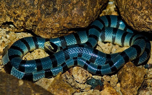 Cobra Krait malasiana azul