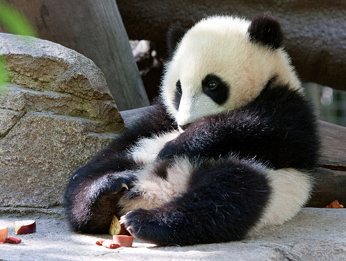 Funny image: Cute Baby Panda Pictures - photo#5