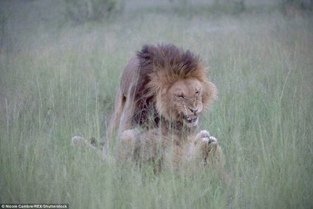 Omg! Have You Ever Seen Homosexual Lions Before? These Photos Will Surely Blow Your Mind