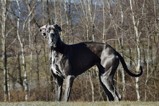 Top 10 Popular Giant Dog Breed In The World