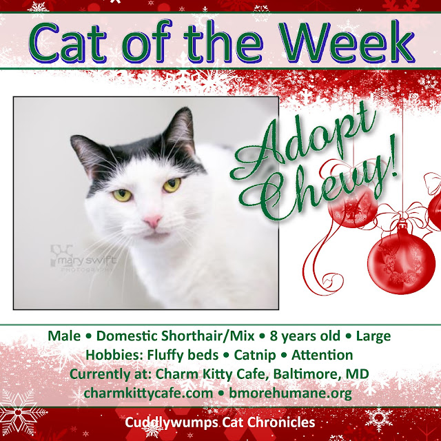 Cat of the Week: Chevy at Charm Kitty Cafe, Baltimore