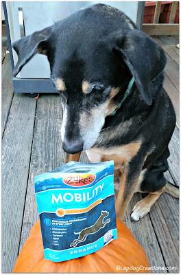 senior dog curious about treats