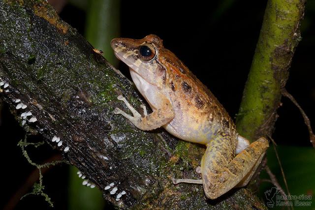 Craugastor fitzingeri - Common Rain Frog