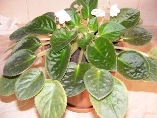 Violeta de parma floare decorativa de apartament,