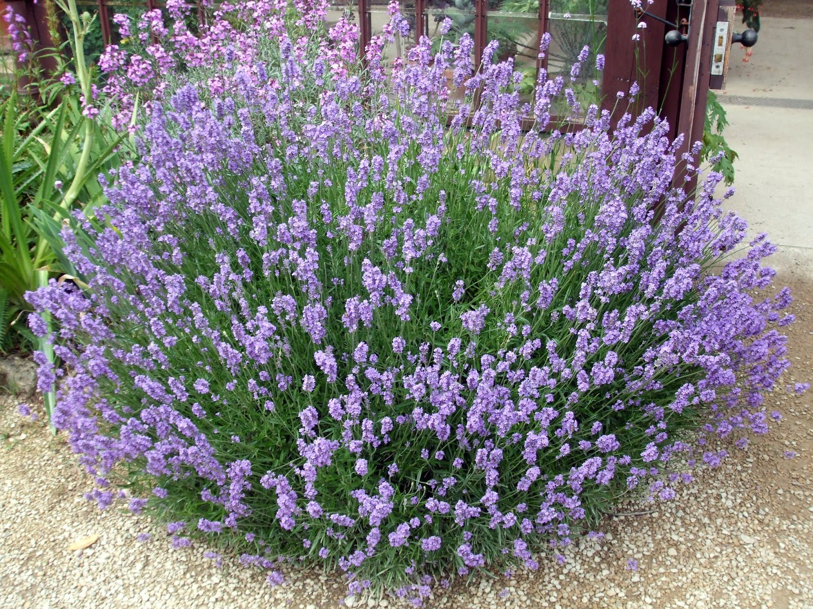 ... sea level, one finds the best growing conditions for English Lavender