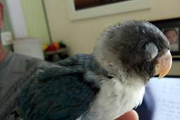 Cara sembuhkan snot pada lovebird, Cara Alami dan Menggunakan Obat