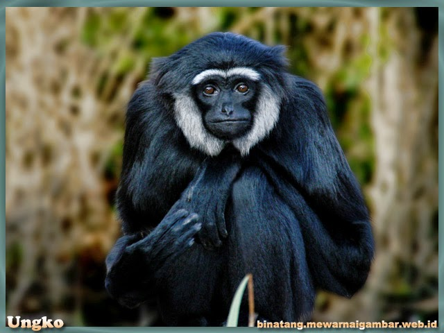 gambar binatang primata ungko