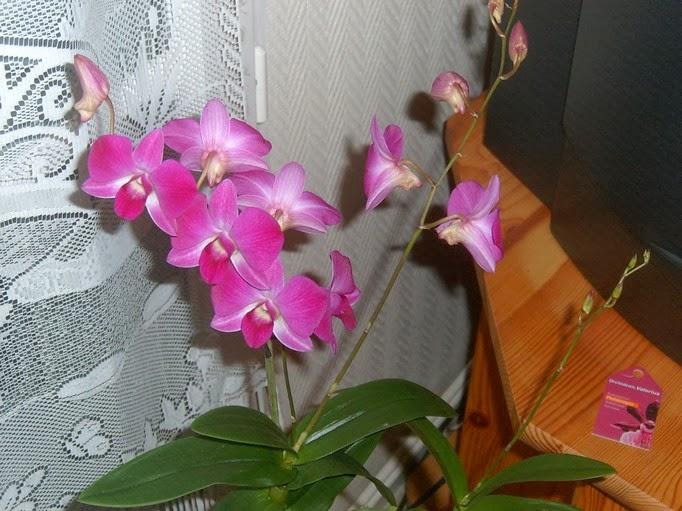 micha 39 s orchideen meine erste orchidee eine dendrobium. Black Bedroom Furniture Sets. Home Design Ideas
