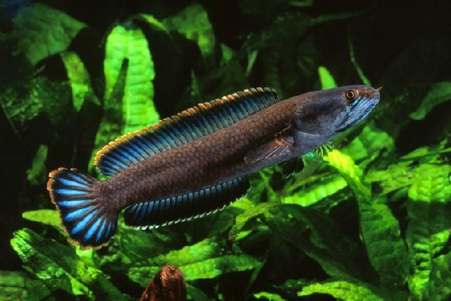 Jenis Ikan Preadator