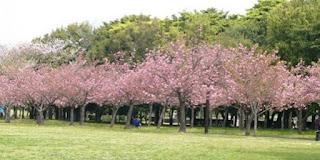 taman-sakura-cibodas