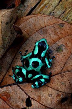 Extremamente sensível às mudanças climáticas, essa tem sido a principal causa da extinção dessa espécie, mas não a única. A coleta praticada por colecionadores também contribuem para o seu desaparecimento.