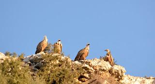 Birdwatching huesca.birding guara pyrenees