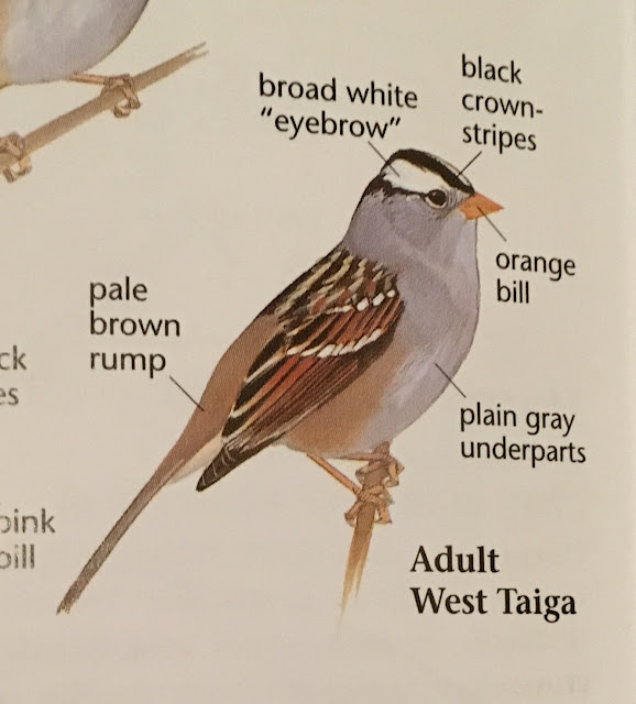 White-crowned Sparrow ID