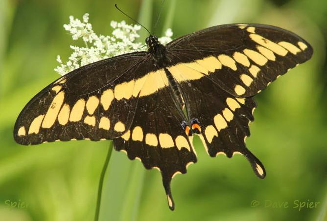 And Yellow Arizona Butterflies Black