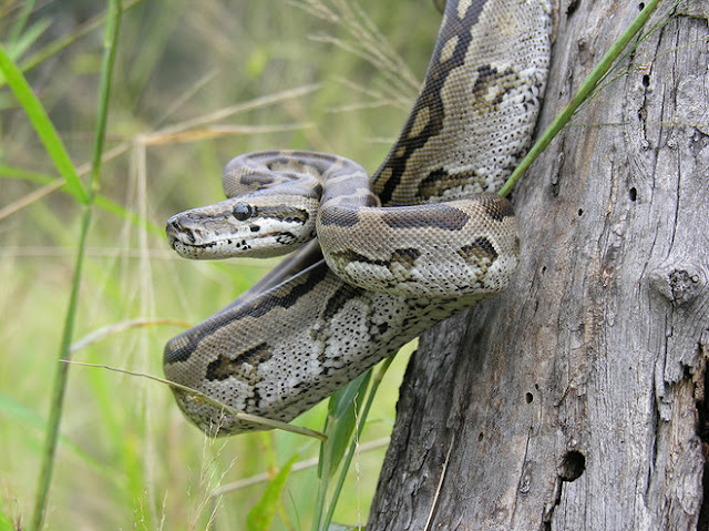 Pythons Are Cold-Blooded Killers But At Least They're Not Negligent Mothers
