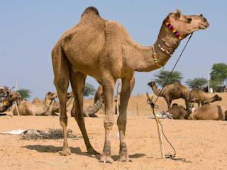 Significado de los Sueños: Soñar con Camellos