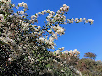 Ceanothus in bloom on Silver Fish Fire Road en route to Summit 2843, Angeles National Forest