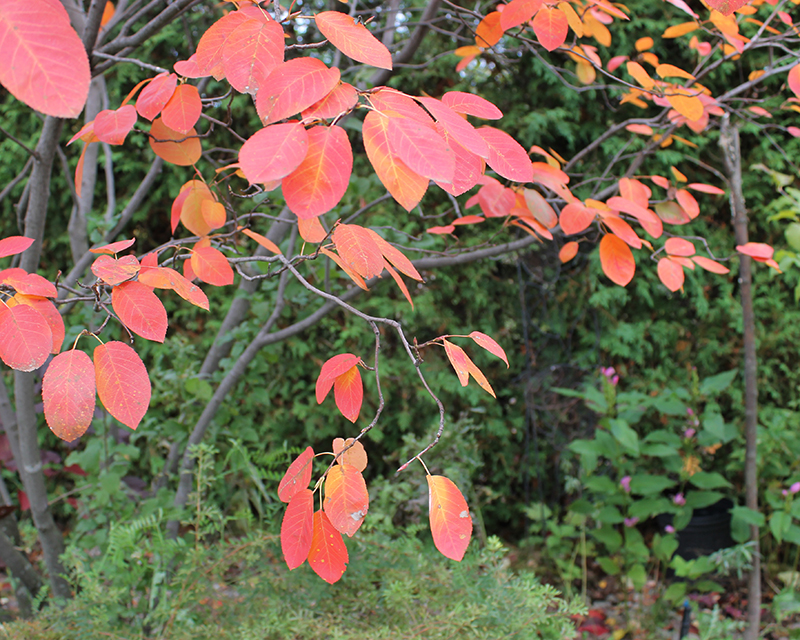 Autumn colour of serviceberry (Amelanchier)