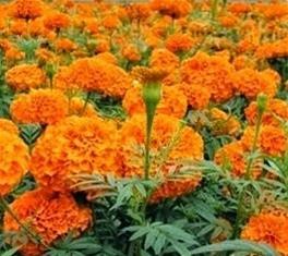 Bunga tai kotok