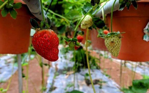 review pelancong big red strawberry farm