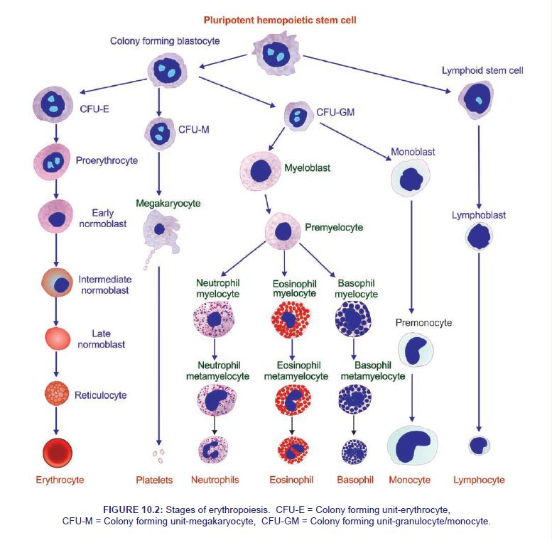 Erythropoiesis - Physiology Notes PDF, PPT Slides