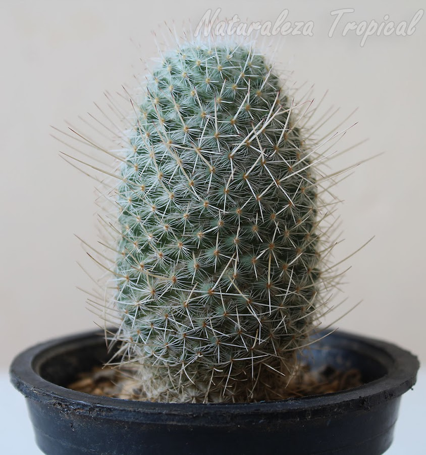 Vista del tallo del cactus Mammillaria geminispina