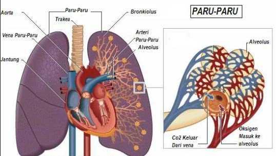alat pernapasan manusia dengan paru paru