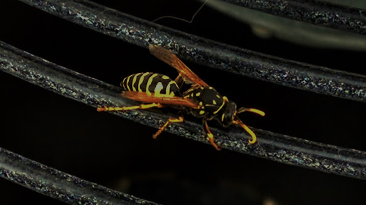 The Yellow Jacket Wasp