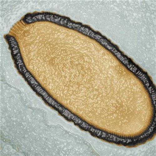 Virus Raksasa, Pithovirus Sibercum