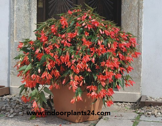 Begoniaceae Plants Guide