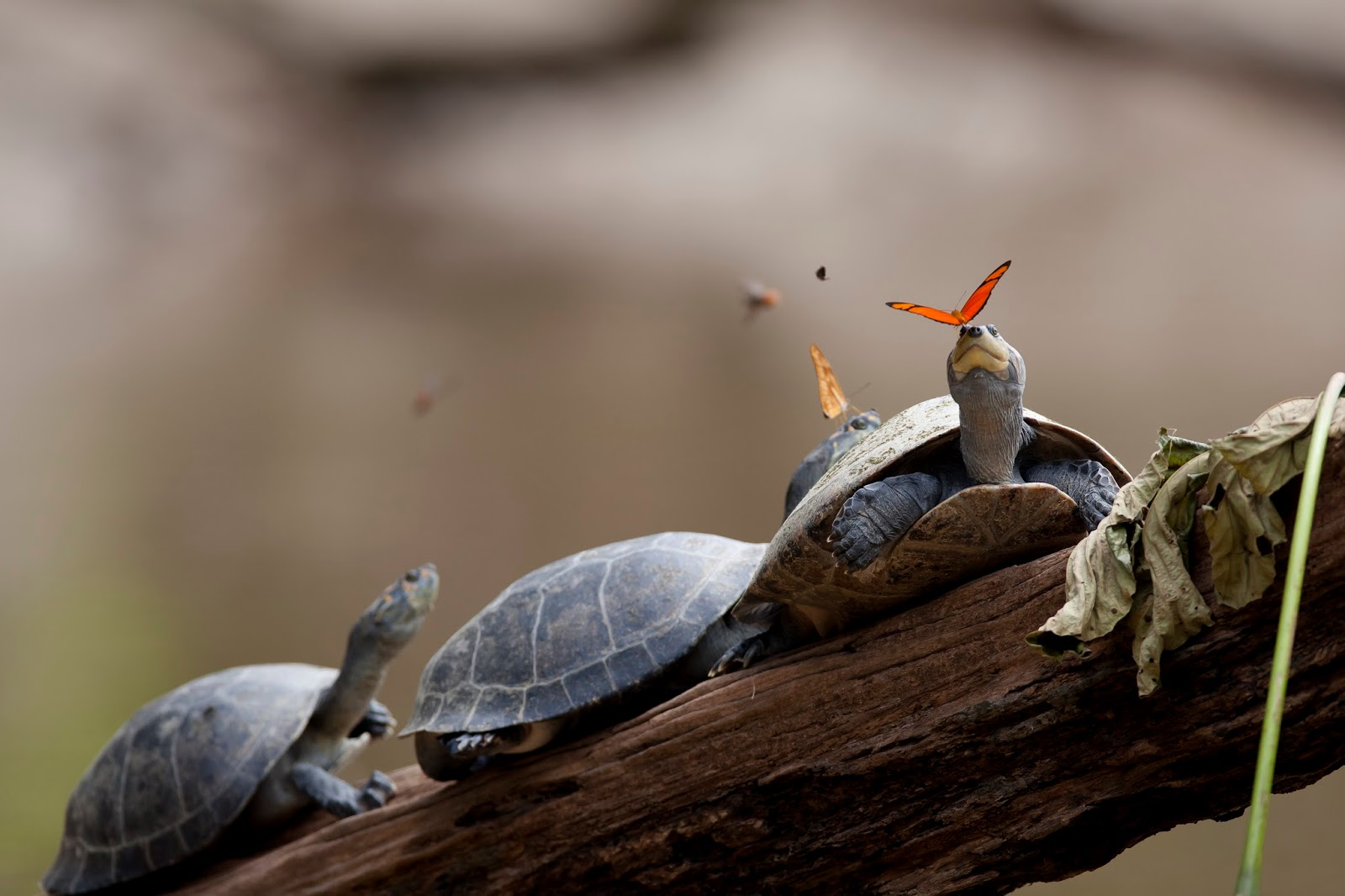 Reptiles: A butterfly feeding on the tears of a turtle in Ecuador