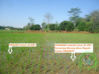 FOTO 2 : Sebelah kiri tanaman padi TRISAKTI Umur 24 HST tumbuh subur.