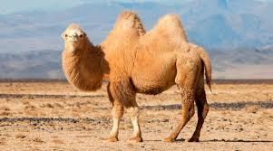 Los camellos no llevan agua, sino grasa