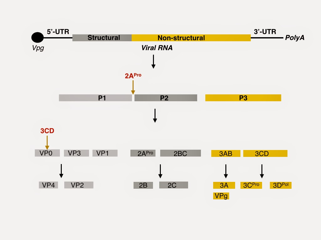 Virology tidbits: Coxsackievirus B3: autophagy, p62, ER stress, and